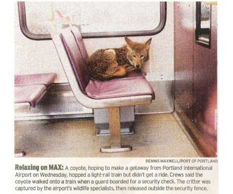 Urban Coyote on a Train