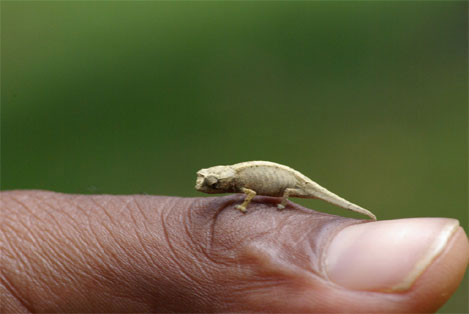worlds-smallest-chameleon