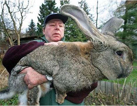 gigantic-bunny