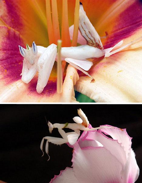 orchid-mantis