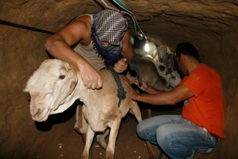 smuggling goats