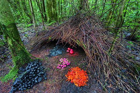 colorful intricate bowerbird nest animal architecture