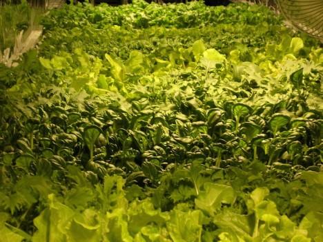 aerofarms leafy greens
