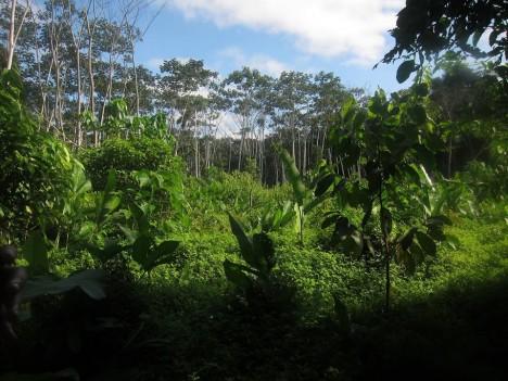 peru amazon trees