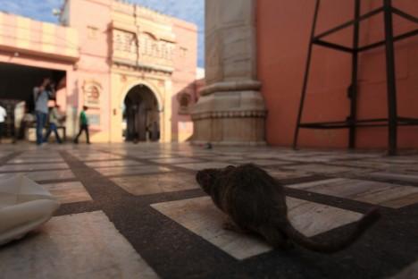 germiest-karni-mata-rat-temple-1