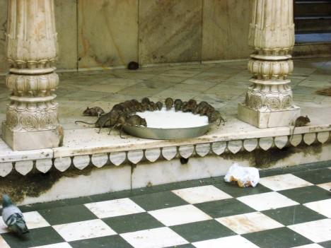 germiest-karni-mata-rat-temple-5