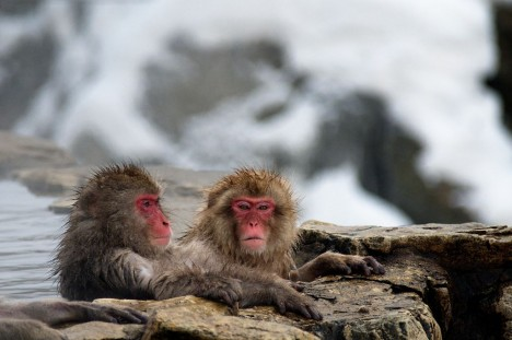 hot springs monkey