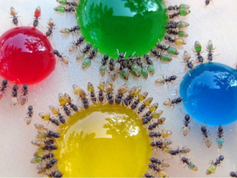 colored ant drink