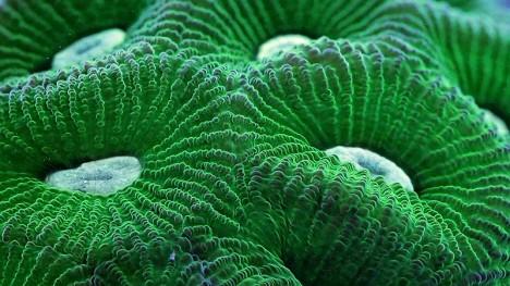 macro coral 1