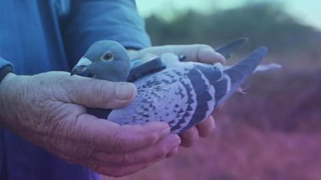 pigeon patrol 3