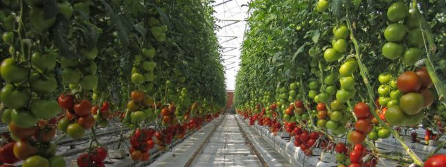 sundrop-farm-tomato-row