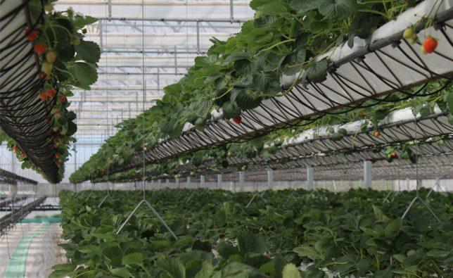 sundrop-farms-hydroponics