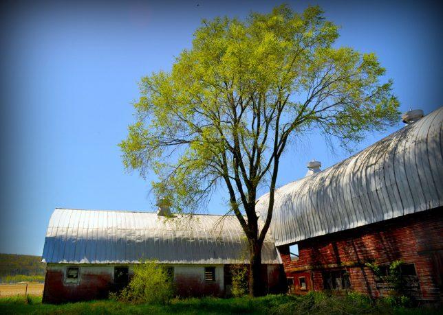 dairy-farms-3a